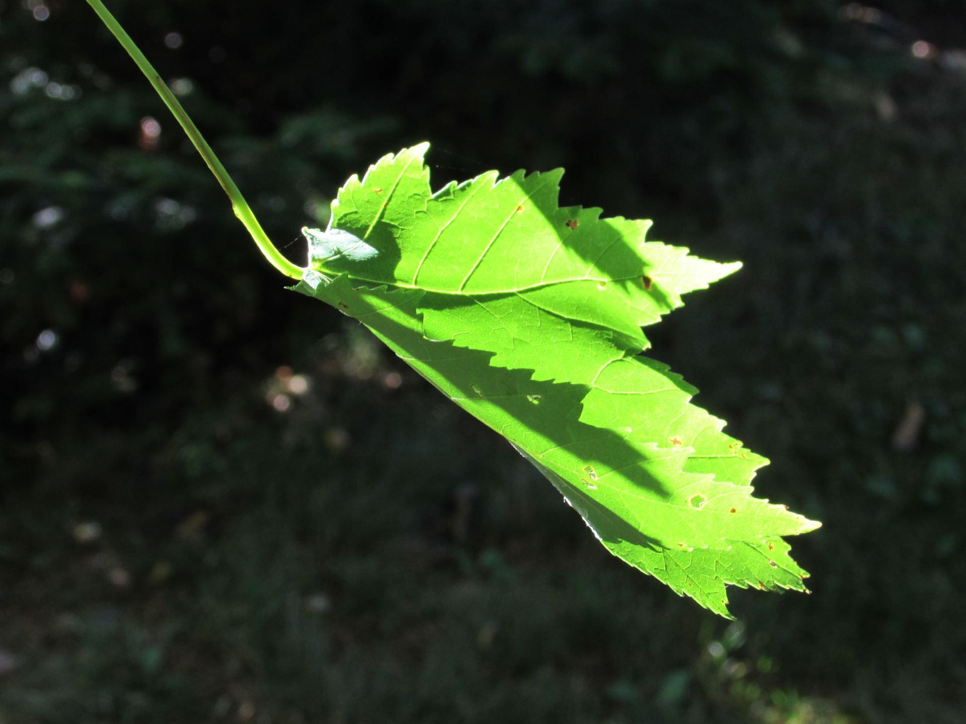 Leaf resized